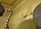 National Museum | Giraffe